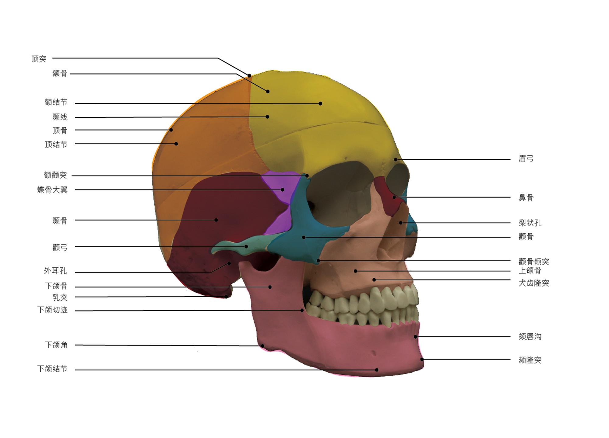 第一章:素描人像普及课  第一节:头骨的形体结构体面认识(参考素材)